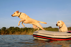 Hood Ornament (scott cromwell) Tags: dog labrador yellowlabrador retriever boat water lake jumping pet lab littledoglaughedstories