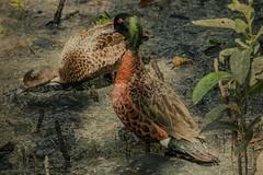 Mangrove Shade (gecko47) Tags: bird birds pair duckdrake chestnutteal anascastanea mangroveforest wynnummangroveboardwalk brisbane moretonbay tidal pools feeding texture kimklassen