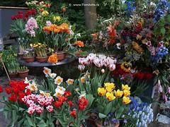 Dutch Tulips, Keukenhof Gardens, Holland - 0776 (HereIsTom) Tags: travel flowers flower holland nature netherlands dutch gardens garden spring europe colours tulips sony cybershot olympus tulip bloom keukenhof tulpen tulp webshots e500 f505