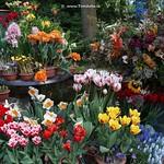 Dutch Tulips, Keukenhof Gardens, Holland - 0776 thumbnail