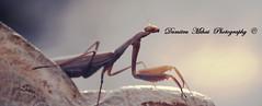Mantis Religiosa (Dumitru Mihai) Tags: macro focus details wonderland 55200mm mantisreligiosa pryingmantis dumitrumihai dumitrumihaiphotography