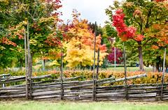 Fence (Ulf Bodin) Tags: autumn colour tree fence leaf sweden uppsala sverige hst trd frg rsta lv hstfrger grdesgrd uppsalaln canoneos5dmarkii canonef70200mmf28lisiiusm