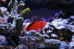 fish aquarium hawkfish