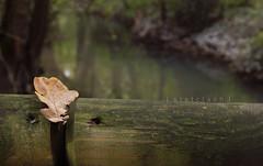 silenzio _8767 ([steTtì] sofasurfer since1974) Tags: wood autumn water canon river leaf silence nd foglia acqua ruscello autunno bosco friuli silenzio udine friuliveneziagiulia 60d filtrond canon60d