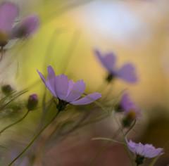 DSC_6452a (Fransois) Tags: flowers macro fall fleurs automne dof montréal bokeh mileend cosmos
