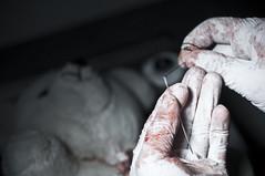 Teddy Bear Autopsy (Zak Milofsky) Tags: bear hospital dark toy blood teddy creative surgery horror portfolio postmortem autopsy