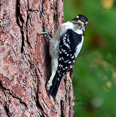 Female Downy Woodpecker (Diane G. Zooms) Tags: nature birds woodpecker downywoodpecker wildbirds naturesfinest coth supershot thegalaxy femaledownywoodpecker bej abigfave naturesfinast coth5 hennysanimals sunrays5