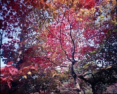 Autumn color (threepinner) Tags: autumn red tree mamiya leaves japan 50mm hokkaido   universal positive   press hokkaidou yubari  selfdeveloped northernjapan sekor takinouepark takinoue
