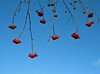 Ilmreynir (Sorbus aucuparia), rauð eru berin sem bíða þrastanna (skolavellir12) Tags: blue red island iceland berries blau rautt ber selfoss sorbus aucuparia ísland reyniviður röd blátt