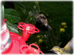 Ruby Throated Hummingbirds-All shots In This Set Were Shot Last Hour Of Daylight Before Dark! (John C. Akers jr.) Tags: set last dark this daylight shot shots before hour were hummingbirds ruby in throated of photocontesttnc12 dailynaturetnc12 hummingbirdsall