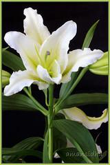 Lilly (Aman-Sidhu) Tags: flower tamron flowercloseup flowerphotos tamron90mmmacro rememberthatmomentlevel1 flowerthequietbeauty