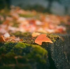 October War (Benjamin Postlewait) Tags: autumn fall 120 tlr film oregon mediumformat leaf closeupfilter mxs portra160 minoltaautocord