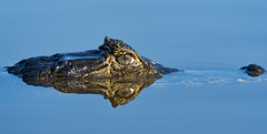 Reflected caiman (Tambako the Jaguar) Tags: wild brazil nature water closeup swimming eyes nikon close reptile wildlife sunny surface crocodile wildanimal caiman matogrosso pantanal rioclaro d4