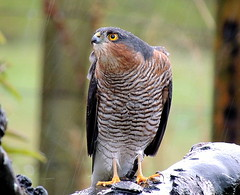just sparrowhawk 074 (ivorrichardk) Tags: justsparrowhawk