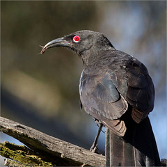 White-winged Chough's eye (aaardvaark) Tags: 201210241d6071wwchough20x20 whitewingedchough corcoraxmelanorhamphos callumbrae cnp canberra act australia