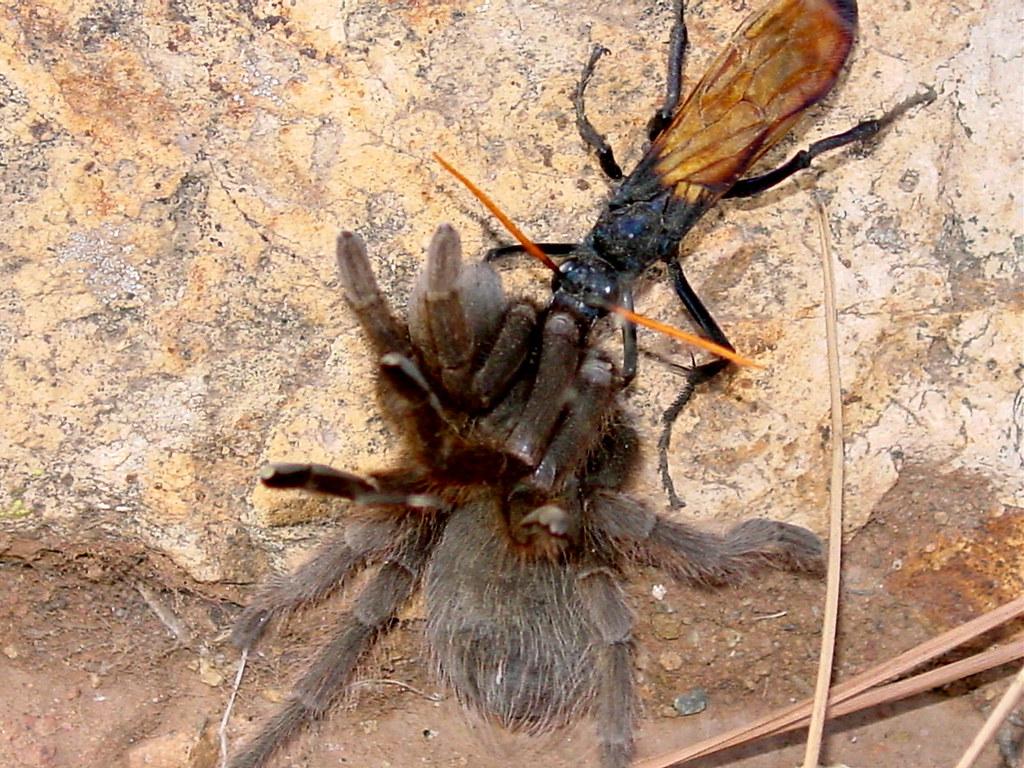 Tarantula wasp