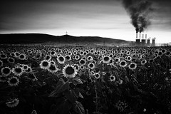 (Sakis Dazanis) Tags: electric canon company pollution sunflower 5d sakis markii kozani         dazanis