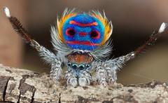 _X8A6285 peacock spider Maratus speciosus (Jurgen Otto) Tags: