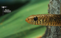 Yellow Rat Snake !!!! (Narasimhan.N) Tags: wildlife ngc allofnatureswildlifelevel1 allofnatureswildlifelevel2