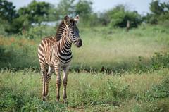 Baby Zebra (Peter J Moore) Tags: favescontestwinner favescontestfavoriteson favescontesttopseed favescontestfavored
