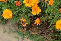 "Bees Visit Marigolds at Biserica ""Sfnta Cruce"" (Church of the Holy Cross) - Ptrui, Jud. Suceava, Romania (Wayne W G) Tags: eruope easterneurope patrauti romanina geo:country=romania"
