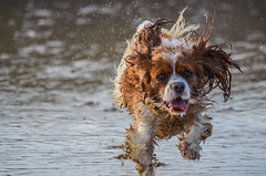 Smelling of Wet Dog (intrazome) Tags: ocean sea dog pet pets beach dogs nature water animal animals movement nikon focus dof action d5100