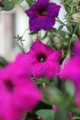 Flores da casa da Vov (Fausto Fa) Tags: brazil flower nature brasil purple natureza flor es roxo espiritosanto brasilemimagens
