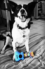 Rock Star Fizzy (Starzyia) Tags: blackandwhite rescue dog pet rock toy rockstar guitar australian bordercollie fizzy kelpie rescuedog bordercolliecross