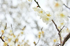 Fragrant (Singer ) Tags: light white flower tree canon dof bokeh taiwan singer   pure   plumblossom          prunusmume     singer186
