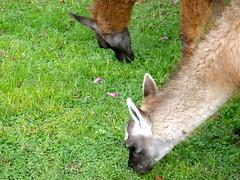 Munching Llamas (The Travelin Chicks) Tags: trip travel vacation alpaca southamerica nature animal museum quito ecuador eating llama culture adventure backpacking equator alpacas traveladventure travelinchucks