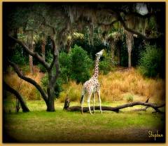~ Looking for Food ~ (stephgum32807) Tags: nature florida disneyworld giraffe animalkingdom bestevergoldenartists