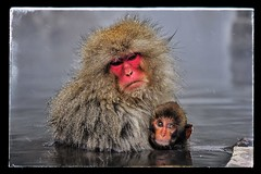 Mum and baby snow monkeys (picsie74) Tags: winter snow love japan fur hugging eyes hug winner monkeys nagano apes hotsprings motherandbaby japanesealps cuteanimal yudanaka snowmonkeys expressiveeyes beautifulshot japanesemacaques bestshotoftheday cutemonkey cutebabyanimal animalaffection bestphotooftheday jigokudaninationalpark cutemumandbaby