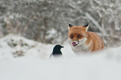 Red Fox (Stuart G Wright Photography) Tags: red snow cannock fox chase staffordshire vixen wwwstuartgwrightcom