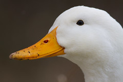 (Gav Jones Landscape & Nature Photography) Tags: camera white eye yellow wales canon duck interesting swan guard feathers explore contact rhyl mute peking whooper
