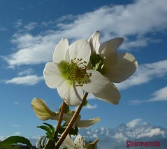 Helleboro nell'azzurro (solonanda) Tags: flowers sky white nature clouds nuvole natura cielo fiori azzurro bianco azur helleboro masterphotos artisticflowers takenwithlove exquisiteflowers mindigtopponalwaysontop lovelyflickr fleursetpaysages platinumamazingdetails loveliflickr thegoldenachievement rememberthatmomentlevel4 goldenachievement rememberthatmomentlevel1 rememberthatmomentlevel2 rememberthatmomentlevel3 rememberthatmomentlevel5 rememberthatmomentlevel6