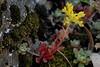 Sedum spathulifolium (Pacific Sedum) (birdgal5) Tags: california nikon may d200 crassulaceae sedum placercounty sedumspathulifolium 105mmf28gvrmicro dutchflat pacificsedum nativeperennial drumpowerhouseroad