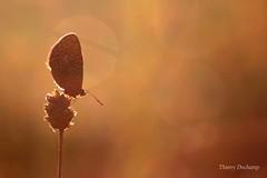 Bain de soleil (photosenvrac) Tags: light flower macro nature fleur animal butterfly insect lumire papillon flare insecte thierryduchamp