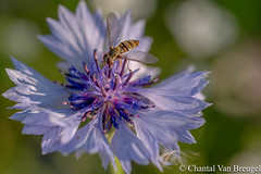 Zweefvlieg (Chantal van Breugel) Tags: macro zweefvlieg korenbloem bloemenveld espel canon5dmark111 canon100mm