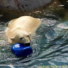 ijsberen_20 (Arnold Beettjer) Tags: wildlands emmen dierenpark dierentuin dierenparkemmen ijsbeer ijsberen polarbear
