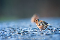 DSC_0611-2 (nigelsnell) Tags: birds cairnwood countydown bird chaffinchfringillacoelebs ononesoftware photo10
