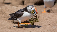 Fish Salad (KHR Images) Tags: puffin fraterculaarctica auk skomerisland pembrokeshire wales withfish wildlife nikon d7100 kevinrobson khrimages
