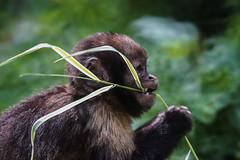 DSC03959_edited (François wry) Tags: singe chimpanzé enfants bébé manger zoo mignon bokeh macro monkey