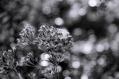 A walk in the woods (WilliamND4) Tags: monochromebokehthursdaymeyeroptik goerlitz trioplan f28100 lensblack white bw plant meyeroptikgoerlitztrioplanf28100lens nikon d610