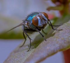bromvlieg (t.boelaars) Tags: blad closeup fotografie insekt macro nederland vlieg
