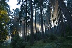 DSC_3319 im Mrchenwald - in the fairy forest (baerli08ww) Tags: deutschland germany rheinlandpfalz rhinelandpalatinate westerwald westerforest wald forest licht light sonne sun sonnenaufgang sunrise nebel mist morgensonne morningsun natur nikon