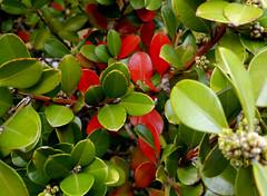 (II Ju Ele) Tags: hojas naturaleza verde rojo invierno
