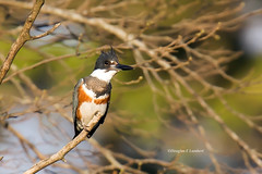 Des Moines, Iowa 4/21/2016 (Doug Lambert) Tags: kingfisher bird nature wildlife glendalecemetery midwest desmoines iowa perched canon6d tamron150600 belted beltedkingfisher