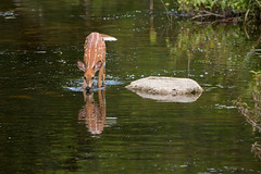 Fawn (NicoleW0000) Tags: fawn reflection white tailed deer wildlife