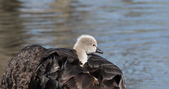 black swan (Cygnus atratus)-9343 (rawshorty) Tags: rawshorty birds canberra australia act jerrabomberrawetlands