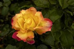 Yellow Rose (3780) (cfalguiere) Tags: datepub2016q308 dof jardindesplantes nature outdoor park profondeurdechamp rosaceae roseraie urban plante fleur exterieur mayenne sarthe france paysdeloire lemans summer yellow rose mans